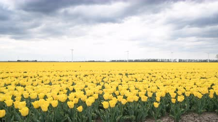 Флеволанд : Yellow tulips growing in a field during springtime in Holland with clouds moving over the field and wind turbines in the background.