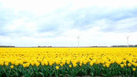 non kentsel : Yellow tulips growing in a field during springtime in Holland with clouds moving fast over the field and wind turbines in the background. The camera is sliding.