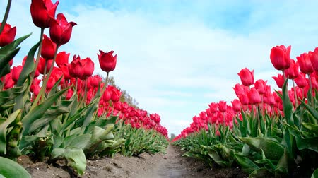 tulipany : Red tulips growing in a field during springtime in Holland. Low angle view with the camera sliding along the tulips Wideo