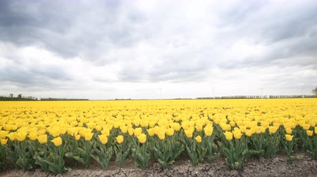 Флеволанд : Yellow tulips growing in a field during springtime in Holland time lapse clip with clouds moving fast over the field and wind turbines in the background.