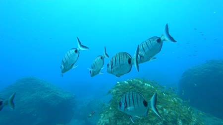 levrek : School of Moroccan white seabream swimming underwater over a reef of the coast of Madeira island with another school in the background. Stok Video