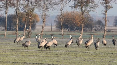 학 : Common Cranes or Eurasian Cranes (Grus Grus) adult and juvenile walking in a field in soft autumn light. Slow motion clip.