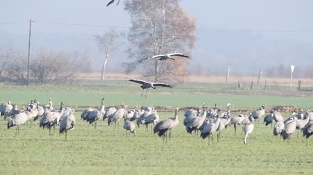 moor : Common Cranes or Eurasian Cranes (Grus Grus) flying and landing in a field during migration season. Slow motion clip.