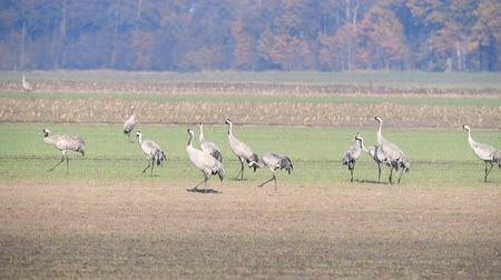 moor : Common Cranes or Eurasian Cranes (Grus Grus) adult and juvenile walking in a field in soft autumn light. Slow motion clip.