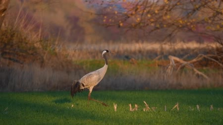 moor : Common Crane or Eurasian Crane (Grus Grus) adult walking in a field in soft autumn light. Slow motion clip.