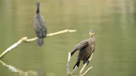 Флеволанд : Great cormorant or great black cormorant juvenile and adult sitting on sticks and cleaning their feathers. Стоковые видеозаписи