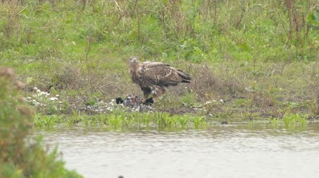 presa : White-tailed eagle or Sea Eagle eating from a great cormorant prey at the shore of a lake in the Oostvaardersplassen in Flevoland, The Netherlands
