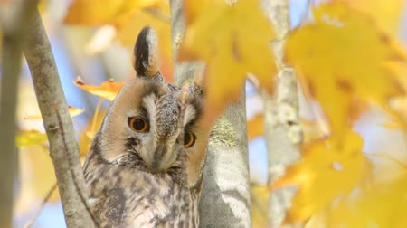 coruja : Long-eared owl (Asio otus) sitting high up in a tree with yellow colored leafs during a fall day. Stock Footage