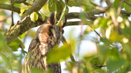 ptáček : Long-eared owl (Asio otus) sitting high up in an apple tree with green colored leafs during a fall day. Close up.