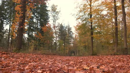 shaking wind : View from the forest floor coveredwith autumn leaves during an overcast fall day.