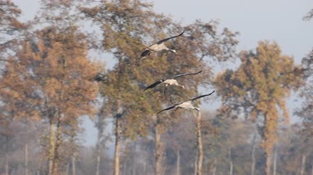 moor : Common Cranes or Eurasian Cranes (Grus Grus) flying in mid air during migration. Slow motion clip.