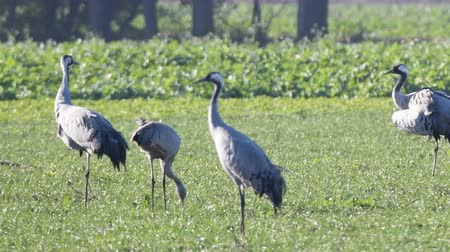 moor : Common Cranes or Eurasian Cranes (Grus Grus) birds resting and feeding in a field during migration. Other cranes are landing in slow motion. Stock Footage