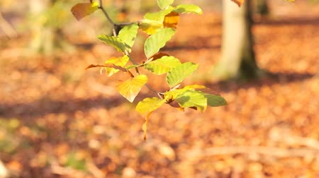 shaking wind : Autumn leaves shaking in the wind on a tree with multi colored leafs during a fall day. Stock Footage
