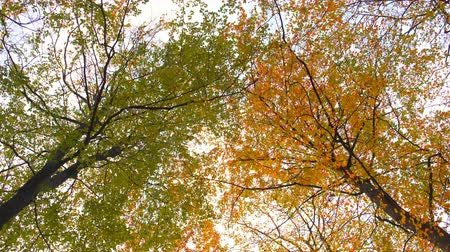 shaking wind : Upwards view in a Beech tree forest with autumn leaves during an overcast fall day.