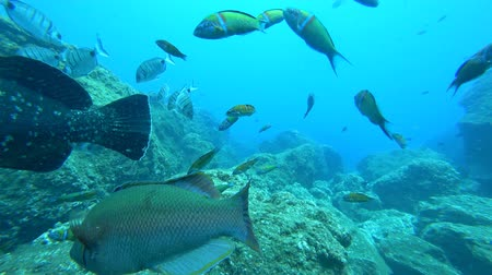 upward : Underwater sea life over a reef off the coast of Madeira island. Various species of fish are swimming around, including Ornate Wrasse and White Sea Bream.