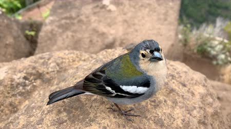passerine bird : Madeiran chaffinch bird close up high up in the mountains of Madeira island during summer. Stock Footage