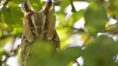 リーフス : Long-eared owl (Asio otus) sitting high up in an apple tree with green colored leafs during a fall day.