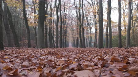 vanish : Path through a beech tree forest with brown leaves on the forest floor and vanishing point in the distance. Camera is zooming in.