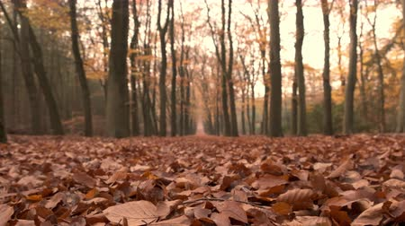 vanish : Path through a beech tree forest with brown leaves on the forest floor and vanishing point in the distance. Sliding camera.
