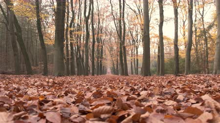 vanish : Path through a beech tree forest with brown leaves on the forest floor and vanishing point in the distance. Slow motion clip with sliding camera.