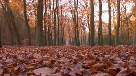 european beech : Path through a beech tree forest with brown leaves on the forest floor and vanishing point in the distance. Slow motion clip with sliding camera.