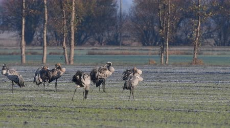 Common Cranes or Eurasian Cranes (Grus Grus) birds resting and feeding in a field during migration