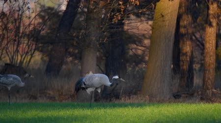 feeding : Common Crane or Eurasian Crane (Grus Grus) birds resting and feeding in a field during migration