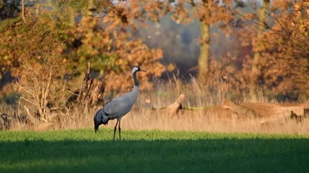 moor : Common Crane or Eurasian Crane (Grus Grus) birds resting and feeding in a field during migration