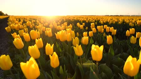 resolution : Yellow tulips growing in a field during springtime in Holland at the end of a beautiful spring day.
