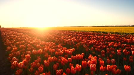 голландский : Red tulips growing in a field during springtime in Holland at the end of a beautiful spring day. Стоковые видеозаписи