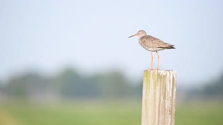 Redshank or Common Redshank sitting on a pole overlooking a meadow during a springtime day.