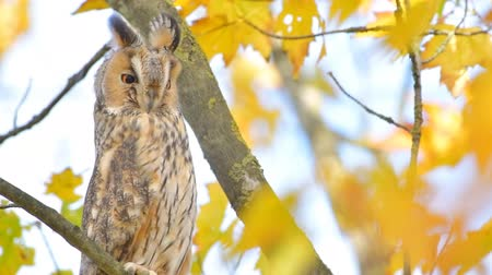 definíció : Long-eared owl (Asio otus) sitting high up in a tree with yellow colored leafs during a fall day. Stock mozgókép