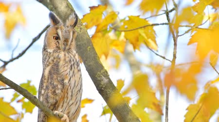リーフス : Long-eared owl (Asio otus) sitting high up in a tree with yellow colored leafs during a fall day. 動画素材