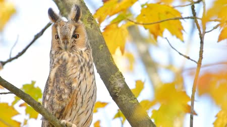 Long-eared owl (Asio otus) sitting high up in a tree with yellow colored leafs during a fall day. Стоковые видеозаписи