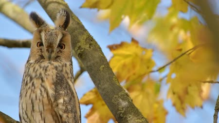 определение : Long-eared owl (Asio otus) sitting high up in a tree with yellow colored leafs during a fall day. Стоковые видеозаписи