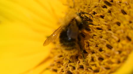 Bee foraging on a sunflower rocking in the wind. Close up macro footage in slow motion. Стоковые видеозаписи