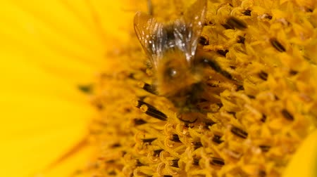 yabanarısı : Bee foraging on a sunflower rocking in the wind. Close up macro footage in slow motion. Stok Video