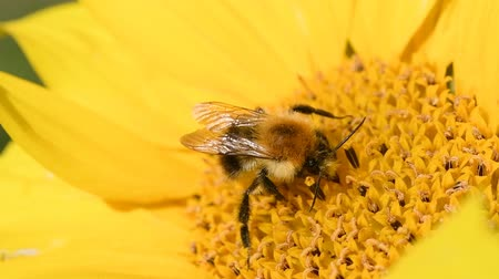 darázs : Bee foraging on a sunflower rocking in the wind. Close up macro footage in slow motion. Stock mozgókép