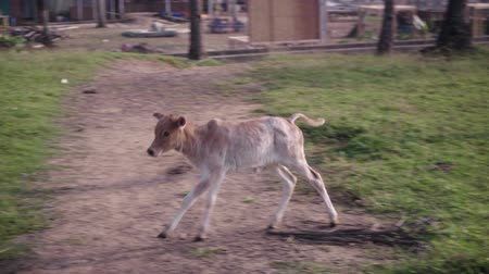 isolado no branco : Calf runs around mother