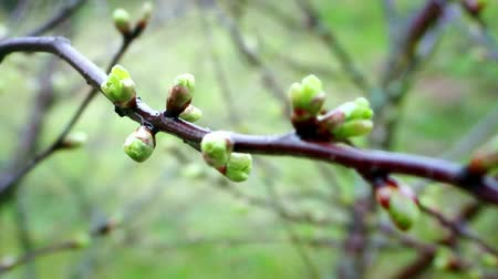 nascimento : In the spring forth its buds on the trees