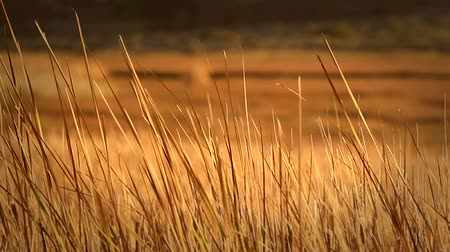 kamış : Dry Orange Reeds Blowing in a Open Field