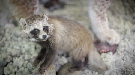 raccoon : Coon pretty face closeup. Wild animal in nature Stock Footage