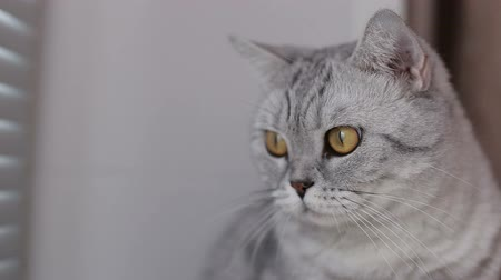 grey cat : Close-up, adult cat looks away