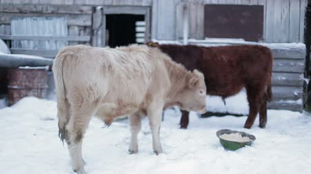 born calf : Two men cow on the ground, and turned back to face the camera.  Farm ranch  cows eating hay during winter.