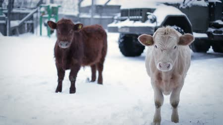 born calf : Two male cow on the ground, looking at the camera . Farm in winter