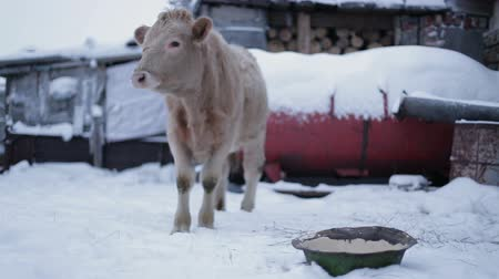 born calf : Male cow on the ground looking at the camera . Farm in winter