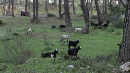 hoofs : Herd of goats grazing on green grass in the summer twilight