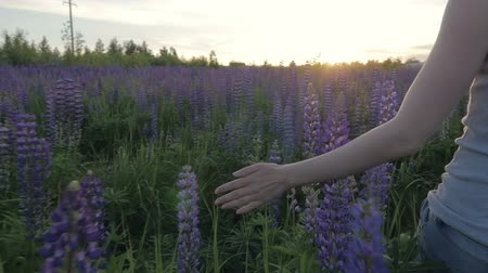 lupine : Hand girl touches purple flowers in a beautiful field at sunset. Slow motion Stock Footage