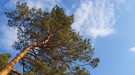 Green Pine tree against blue sky