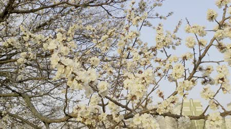 lehet : Blooming apple trees in spring on windy day. Blossoming tree with white flowers
